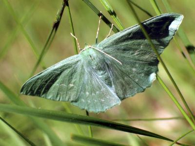 PHALENE Gecmetra Papillonaria 3